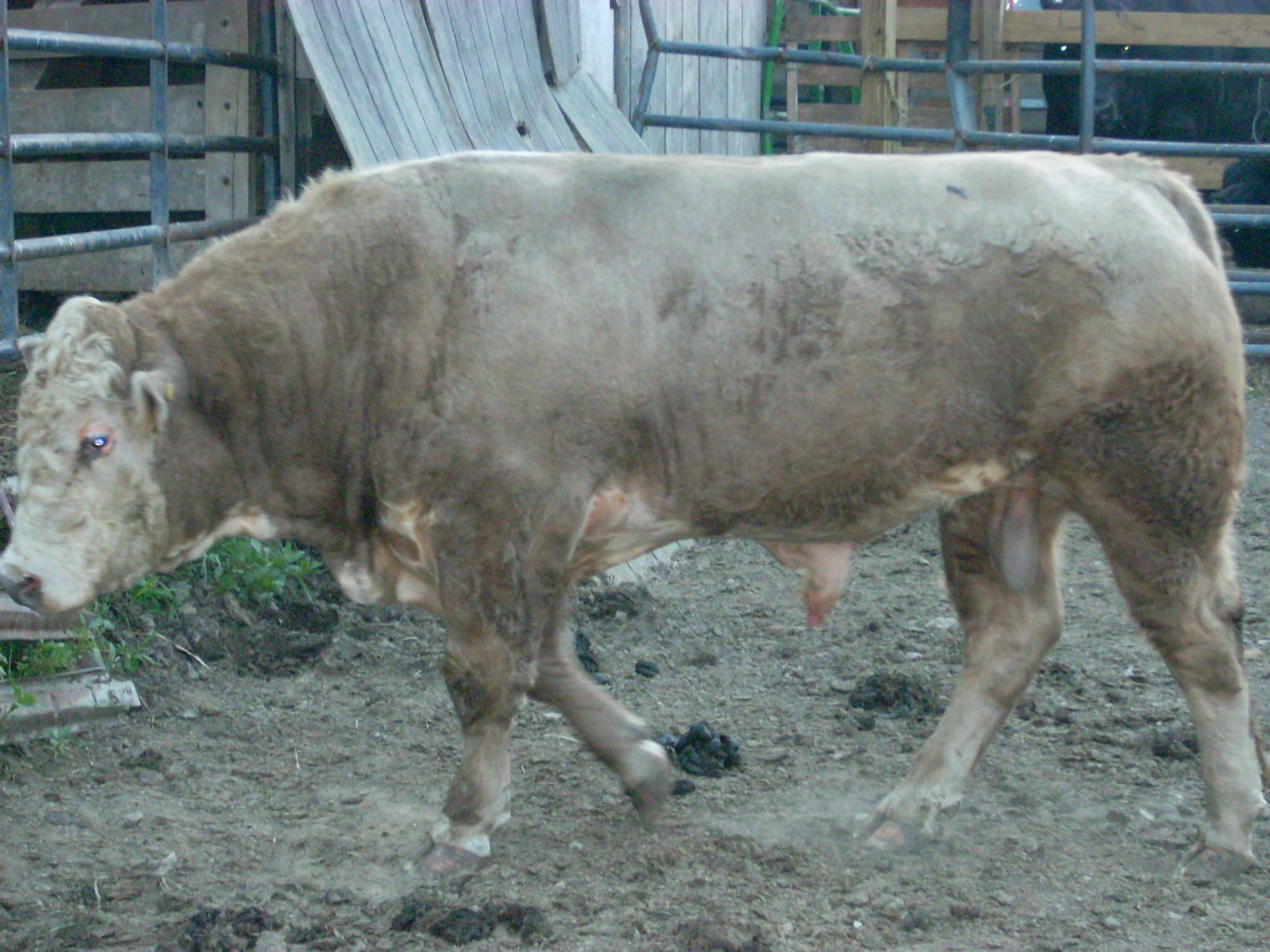 backyard bulls farm beef services